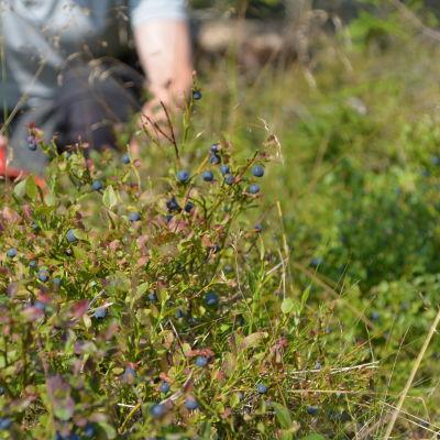 Blåbärsplockning i skogen