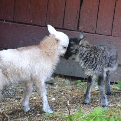 Två lamm.