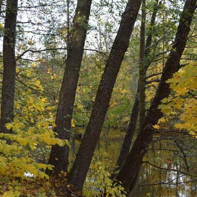 Träd i höstskrud intill vattendrag