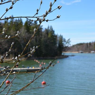Videkissor på våren, en vy över havet i bakgrunden.