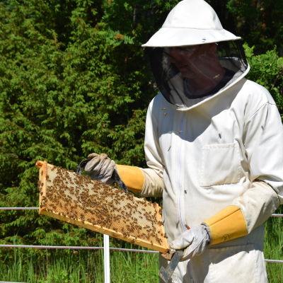 En biodlare håller upp en vaxkaka ur en bikupa.