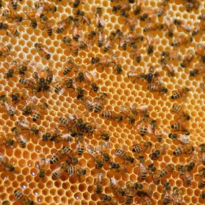 Bin på en vaxkaka med honung i.