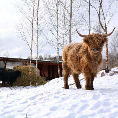Highland cattle kvigan Binja tittar in i kameran.