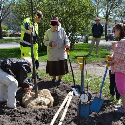 en parklind planteras till borgå stads långvarige stadsträdgårdsmästare gunnar falkholms minne 11.05.16
