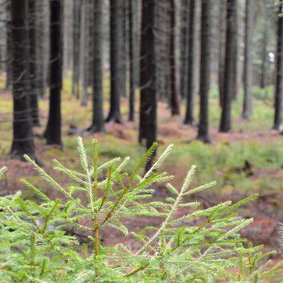 Hammars-gammelbacka-skogen i Borgå