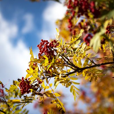 rönnbär med gula höstlöv på en kvist