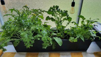 Multaan istutetut mizuna, lehtikaali ja salaatti istutuslaatikossa.