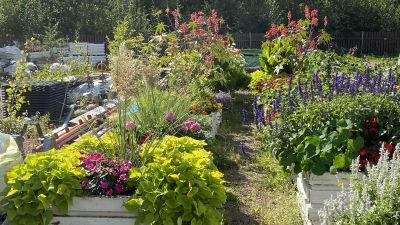 Trädgårdsväxter i Lovisa stads parkavdelnings depå