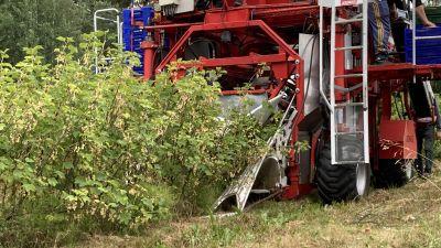 valkoherukkaa kerätään isolla vijelyalueella isolla koneella