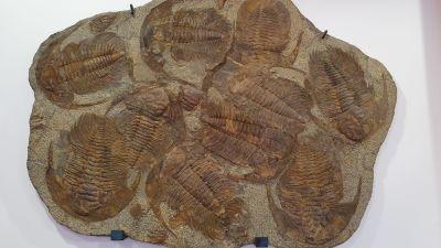 Fossiliserade trilobiter.