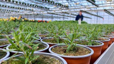 Rosmarin plantor i närbild i ett växthus.