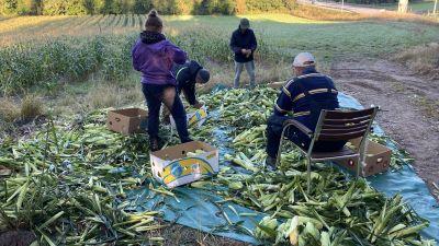 Fyra personer rensar och packar majs vid en majsodling.