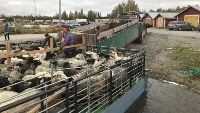 Får på en pråm i Svedjehamn. Fåren hämtas hem till Björkö från holmar ute i skärgården.