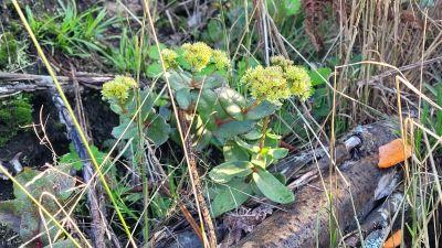 Gulgröna växter med vaxaktiga löv.