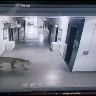 Valvontakamerakuva, jossa näkyy koulun tyhjällä käytävällä kulkeva leopardi.