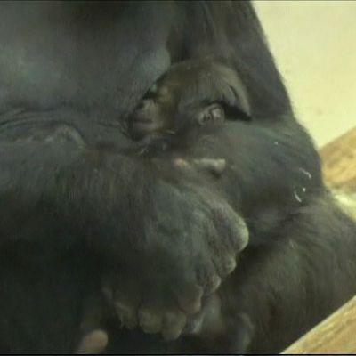 Gorillaemo Tinga pitää sylissään kolmen viikon ikäistä poikastaan.