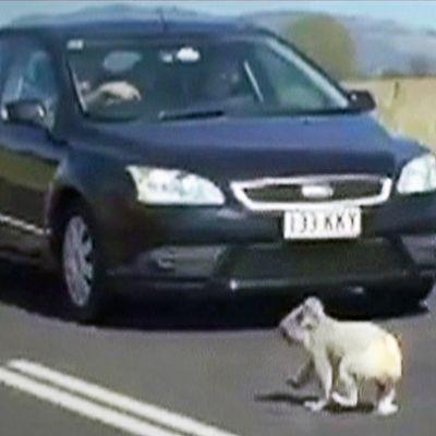 Koala tiellä auton edessä.