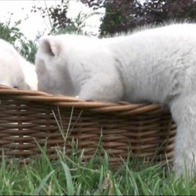 Valkoisia leijonanpentuja.