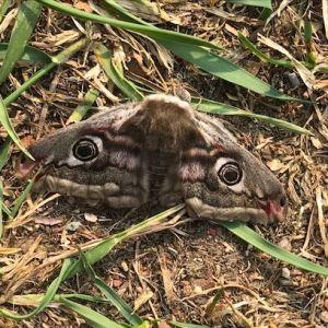 AnnChristine mötte denna lite skrämmande fjäril. Vem är det?