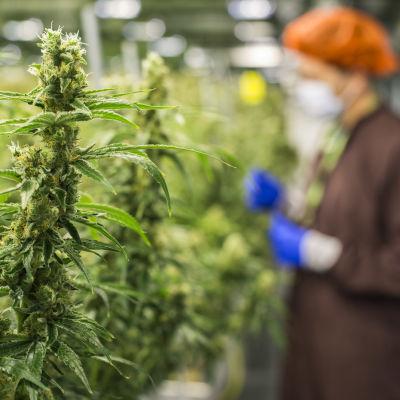 Cannabisplantor växer i ett växthus i Markham, Kanada. I bilden syns också en anställd vid bolaget Medreleaf som producerar medicinsk cannabis i Kanada.
