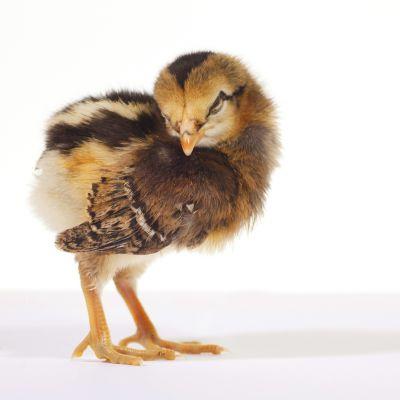 En liten kyckling.