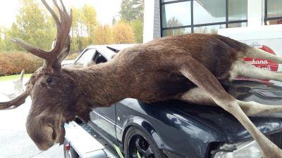 En älg med stora horn ligger påkörd av en bil på motorhuven.