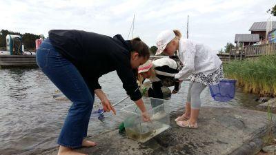Wilma Johansson, Meya Walldén och Nellie Walldén tittar på olika vattendjur som de fångat med håvar och satt i ett akvarium på klipporna.