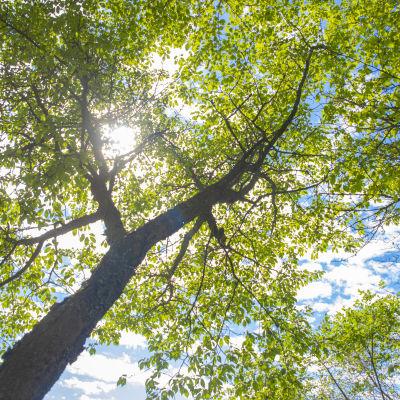 Kirsikkapuu Arboretum Mustilassa.