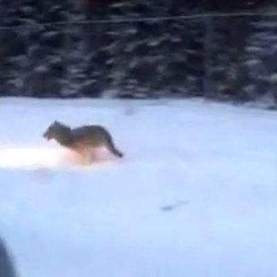 Suden näköinen eläin hyppii umpihangessa
