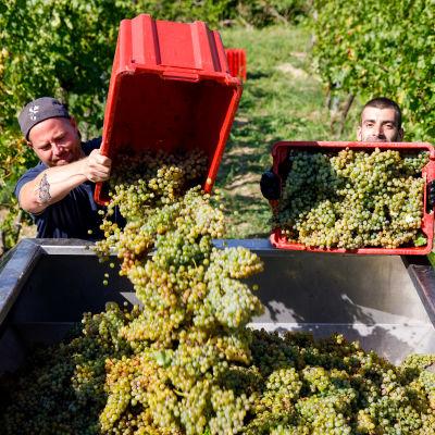 Två män på en vinodling häller vindruvor från mindre lådor i större kärl.