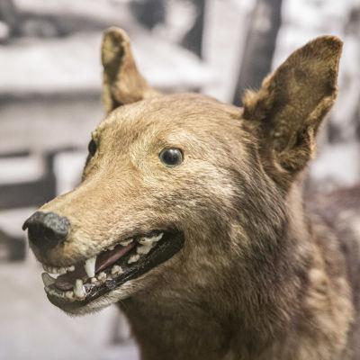 Rajavartiolaitoksen ensimmäinen koira 20-luvulta täytettynä rajamuseossa.