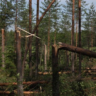 Katkenneita puita Kainuun metsässä.