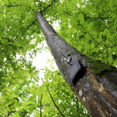 Ett träd som fungerar som gravplats
