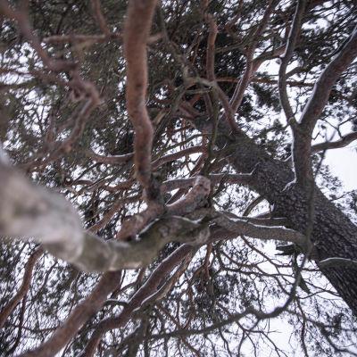 Vanha puu