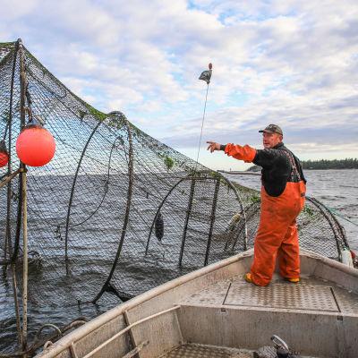 Fiskaren Mikael Lindholm håvar in fångsten i en ryssja.