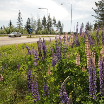 Lupiinit kukkivat moottoritien varressa