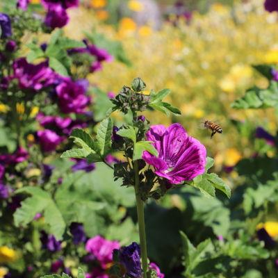Ett flygande bi påväg till pinka blommor.