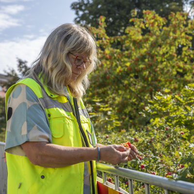 puutarhuri Tarja Hernetkoski pitelee käsissään kurtturuusunmarjaa, taustalla kurtturuusupensaita