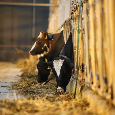 Lehmät syövät navetassa.