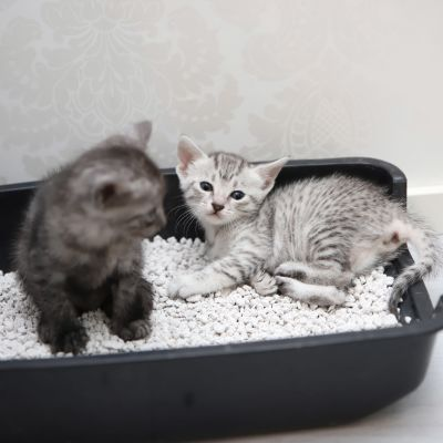 kaksi kissanpentua kissanhiekkalaatikossa.