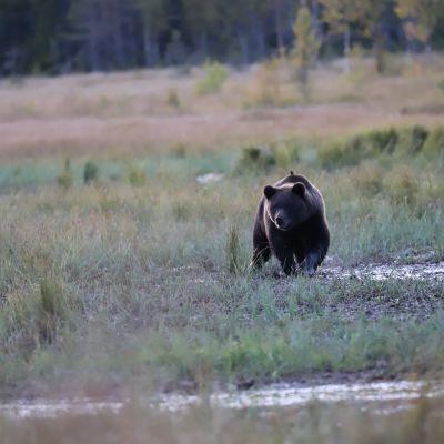 Nuori karhu kävelee suolla.
