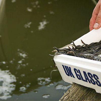 Ålyngel planteras från styroxlådor i vattnet.