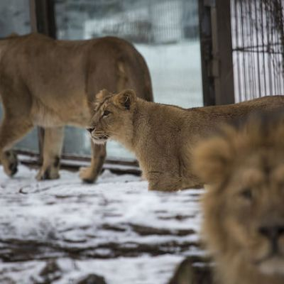 Korkeasaaren leijonanpennut saivat intialaiset nimet.