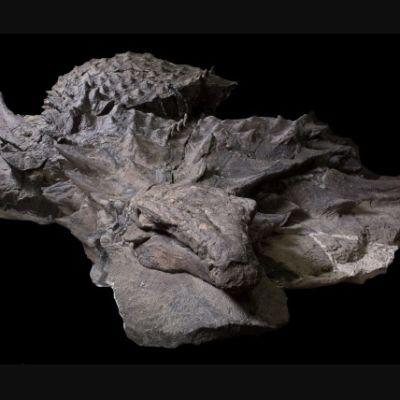 Fossiikissa näkyvät nodosauruksen pää ja selän luupiikit.