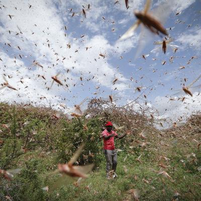 Heinäsirkkaparvi pellolla