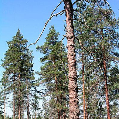 Mukuramänty metsässä.