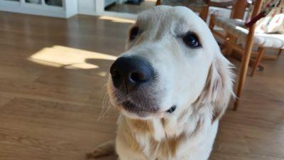 En hund sitter på golvet och ser förbi kameran.