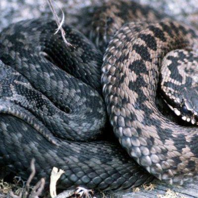 Kyykäärmeet kalliolla