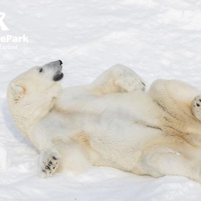 jääkarhu Sisu Ranuan eläinpuistossa.