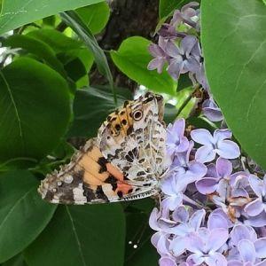 Två bilder på fjäril i syrénbuske